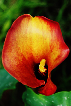 spadix: Red and Yellow Arum Lily Closeup Stock Photo