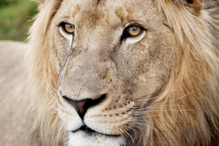 Portrait of Male Lion, Closeup Stock Photo - 30260196
