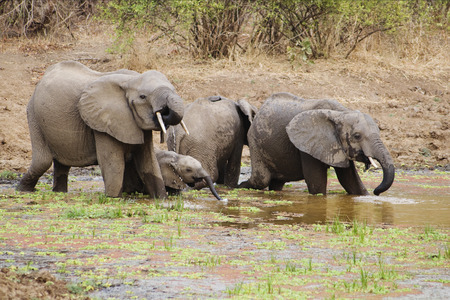 Elephant Family Drinking Water in South Luangwa National Park, Zambia, Africa Stock Photo