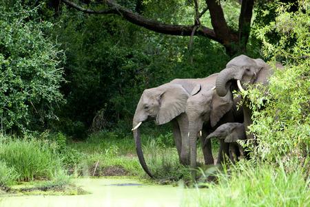 Elephant Family Drinking Water in Lake Manyara National Park, Tanzania, Africa photo