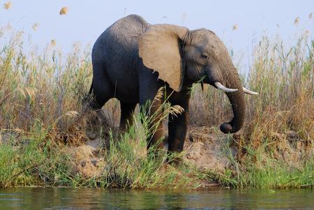 Elephant drinking water from the Zambezi River, Zambia, Africa