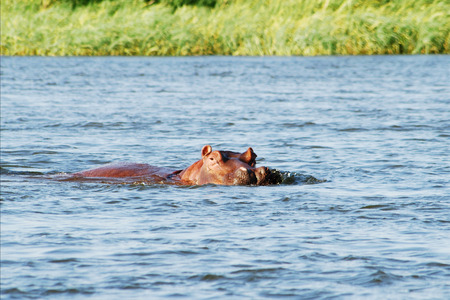 zambezi: Hippo in the Zambezi River, Zambia, Africa Stock Photo