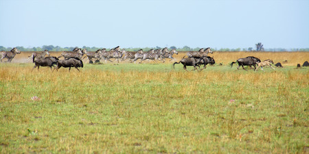 Group of Zebras and Wildebeest Running on the Liuwa Plains, Zambia, Africa