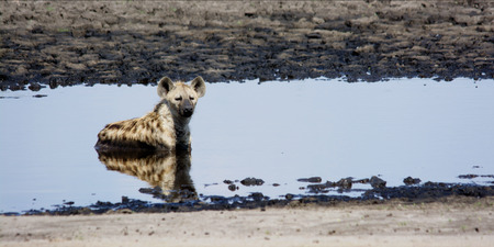 Hyena Relaxing in Cool Shallow Pond on Liuwa Plains, Zambia, Africa photo