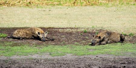 hienas: Dos hienas Relajante y Solarium en Liuwa Plains, Zambia, África