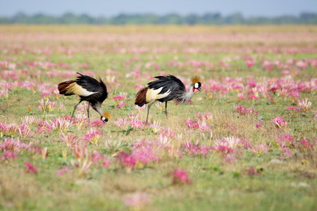 Two Crowned Cranes feeding among the Pink Wild Flowers on Liuwa Plains, Zambia, Africa