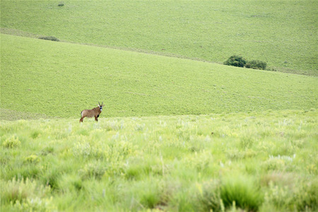 roan: Roan Antelope on the Hills of Nyika Plateau, Malawi, Africa