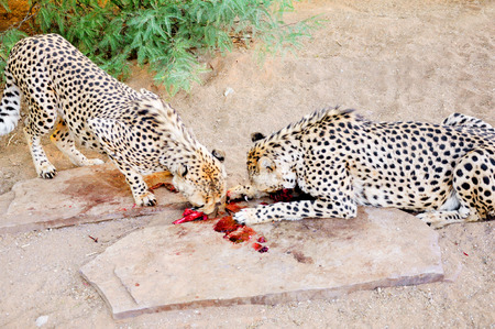 Two Cheetahs in Captivity, Feeding Together on Raw Meat, in Sandy Shady Enclosure