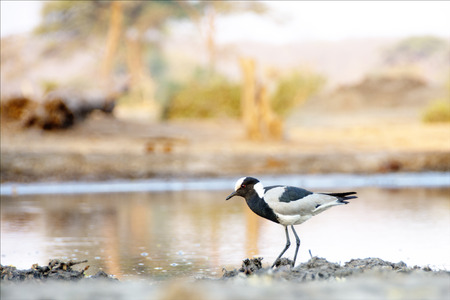 Single Blacksmith Lapwing wandering along the side of a Water Pool at Sunset, in Botswana, Africa