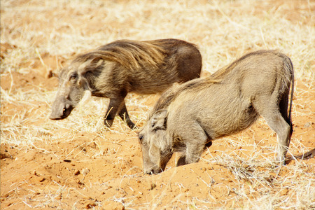 Two Warthogs Digging in Red Sand in Botswana, Southern Africa Stock Photo