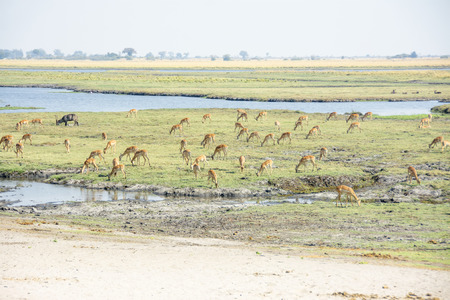 chobe national park: Large Herd of Impala and one Waterbuck along the Zambezi River in Chobe National Park, Botswana, Southern Africa