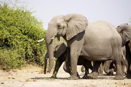 chobe national park: Herd of Elephants Walking through Chobe National Park, Botswana, Southern Africa