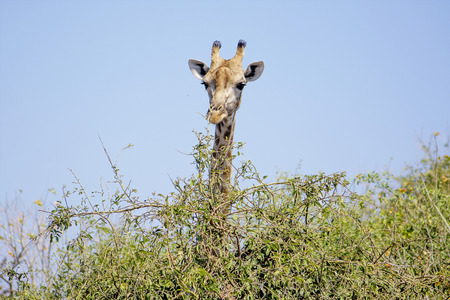 Closeup of Giraffe Looking over a Green Bush in Chobe National Park, Botswana, Southern Africa Stock Photo - 44231450
