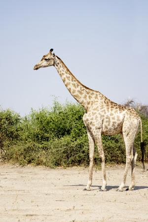 chobe national park: Beautiful Lonely Female Giraffe Standing in Bright Sunlight, Chobe National Park, Botswana, Southern Africa
