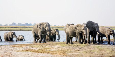 chobe national park: Herd of Elephants Come Walking through the Zambezi River, Chobe National Park, Botswana, Southern Africa