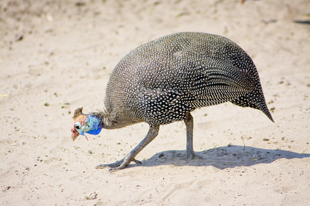 Closeup of One Guinea Fowl walking in the Sand, Chobe National Park, Botswana, Southern Africa Stock Photo