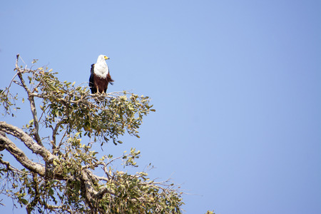 One Fish Eagle Sitting in a Tree against a Blue Sky, Watching Over the Beautiful Chobe National Park, Botswana, Southern Africa