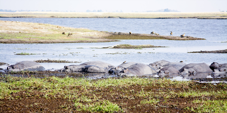 zambezi: Herd of Hippos Basking in the Shallow Zambezi River during the Warm, Dry Season, Chobe National Park, Botswana, Southern Africa Stock Photo