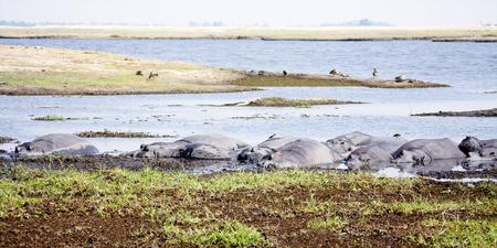 chobe national park: Herd of Hippos Basking in the Shallow Zambezi River during the Warm, Dry Season, Chobe National Park, Botswana, Southern Africa Stock Photo