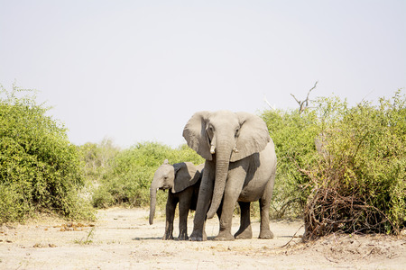 dry cow: Two Elephants, Cow and Calf, Standing in the Dry Heat on their way through an arid  Chobe National Park, Botswana, Southern Africa