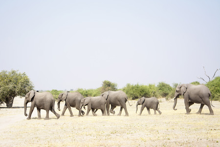 Herd of Elephants Walking through a very dry Chobe National Park, Botswana, Southern Africa