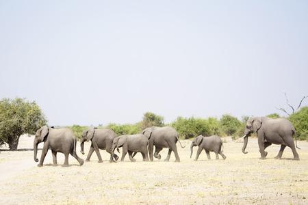 chobe national park: Herd of Elephants Walking through a very dry Chobe National Park, Botswana, Southern Africa