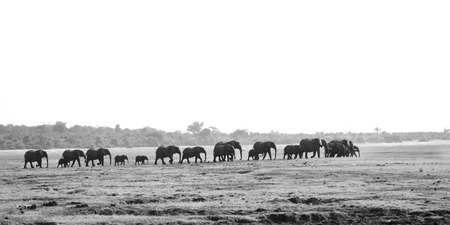 Black and White picture of Herd of Elephants Walking through a very dry Chobe National Park, Botswana, Southern Africa