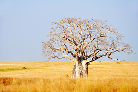 Big Baobab Tree in Yellow Fields against a Blue Sky, Angola, Southern Africa Stock Photo