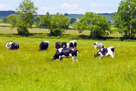 black and white farm animals: Cows grazing on lush grass, herb meadows