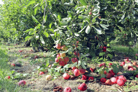 Seasonal fruit orchard with ripe organic red and yellow apples on branches and rotten on the ground, in an English rural countryside .