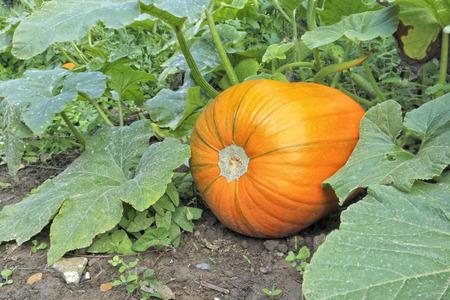 Organic orange pumpkin between the leaves, autumn farm field .