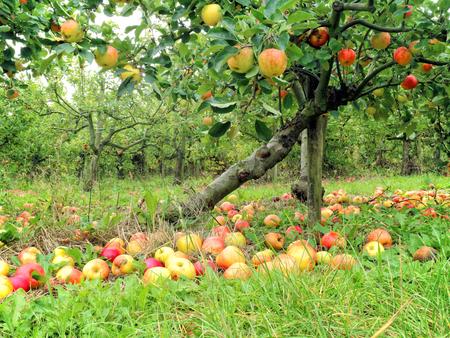 Huerto de frutas orgánicas con manzanas rojas y amarillas maduras en las ramas y en el suelo en una campiña inglesa.