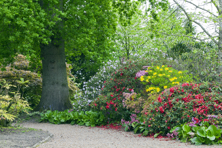 Colourful rhododendrons, azaleas in bloom on a walking path by an oak tree, in a spring lush garden .