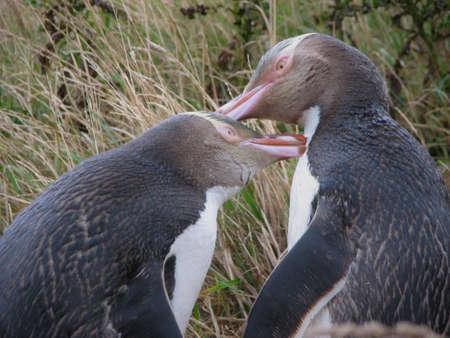 yellow eyed penguin: Yellow Eyed Penguins, New Zealand Stock Photo