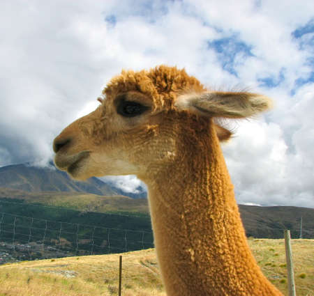 Lama  in Deer park, New Zealand photo