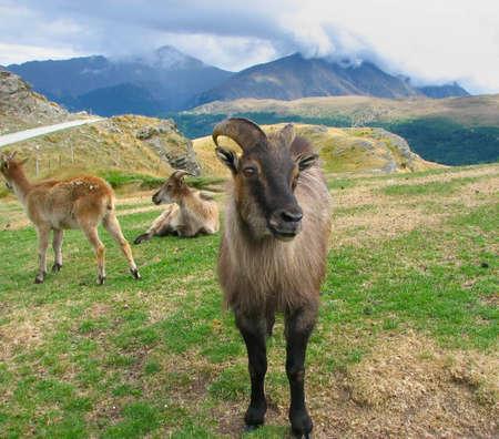 billygoat: He-goat in Deer Park, New Zealand