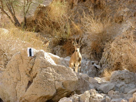 vadi: The Nubian ibex  is a rocky desert dwelling goat antelope found in mountainous areas of Israel