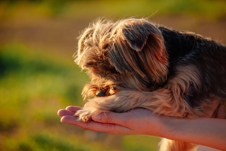 Sad yorkshire terrier lying on the owner hand closeup with human hand