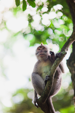 ubud: January, 19, 2017, Ubud, Bali, Indonesia: Funny macaque sitting on trees brunch in Sacred Monkey Forest, Ubud Bali. Mammal animals in zoo park, natural environment.