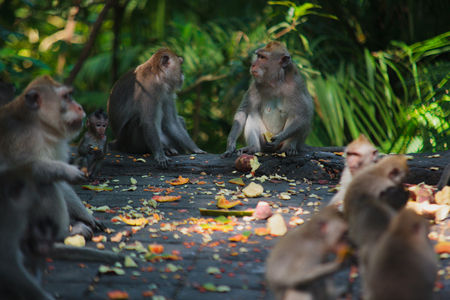 what to eat: January, 19, 2017, Ubud, Bali, Indonesia: Funny macaque in Sacred Monkey Forest, Ubud Bali. Mammal animals in zoo park, natural environment. Travel guide: what to visit on Bali, must see place.
