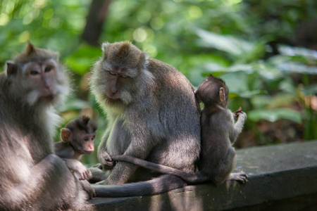 ubud: January, 19, 2017, Ubud, Bali, Indonesia: Mother cares about her child. Adult monkey hold the tail of baby monkey. Funny macaque in Sacred Monkey Forest, Ubud Bali. Animals in natural environment.