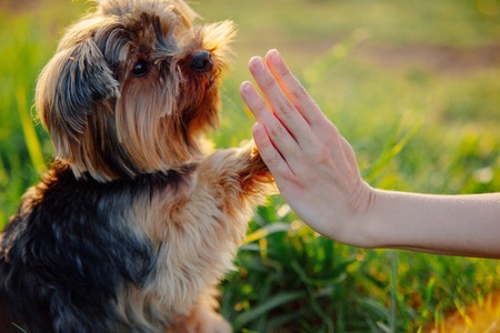 Yorkshire terrier gives paw his owner closeup with human hand