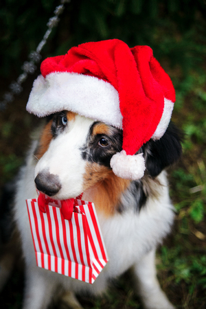 Australian shepherd in red santa hat and gift bag in the mouth posing under the christmas tree. New year 2018 symbol concept.