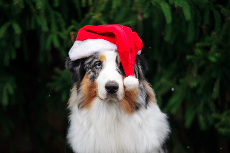 Australian shepherd dog in red santa hat posing under the christmas tree. New year 2018 symbol concept. Stock Photo