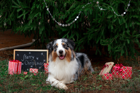 Australian shepherd lies cross-legged under the christmas tree with wrapped gift boxes and black chalkboard with inscription: Merry Christmas. New year 2018 symbol concept. Foto de archivo