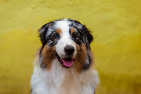 Smiling australian shepherd portrait on background of bright yellow wall with copy space.