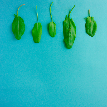 Fresh green leaves of sorrel in a row on turquoise background. Minimal vegan diet concept.