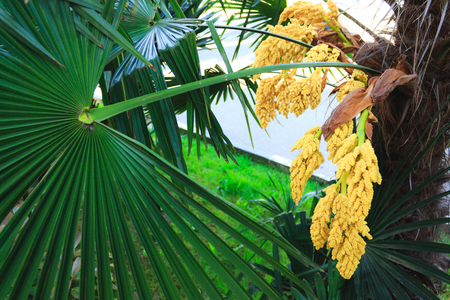 The green palm tree blooms in clusters of yellow flowers flowering stock photo the green palm tree blooms in clusters of yellow flowers flowering of tropical plants mightylinksfo