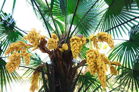 The green palm tree blooms in clusters of yellow flowers flowering stock photo the green palm tree blooms in clusters of yellow flowers flowering of tropical plants bottom view mightylinksfo