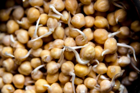 Sprouted chickpea close up. Bean sprouts raw. Source of protein for vegan healthy diet